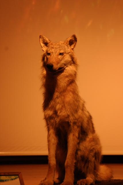 Für die Ausstellung des Wolfpräparates dankt die Kreisjägerschaft dem Wildpark Eekholt.